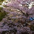 やっぱり夙川の桜 癒されます。