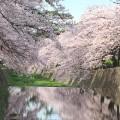 夙川 桜が満開になりました!